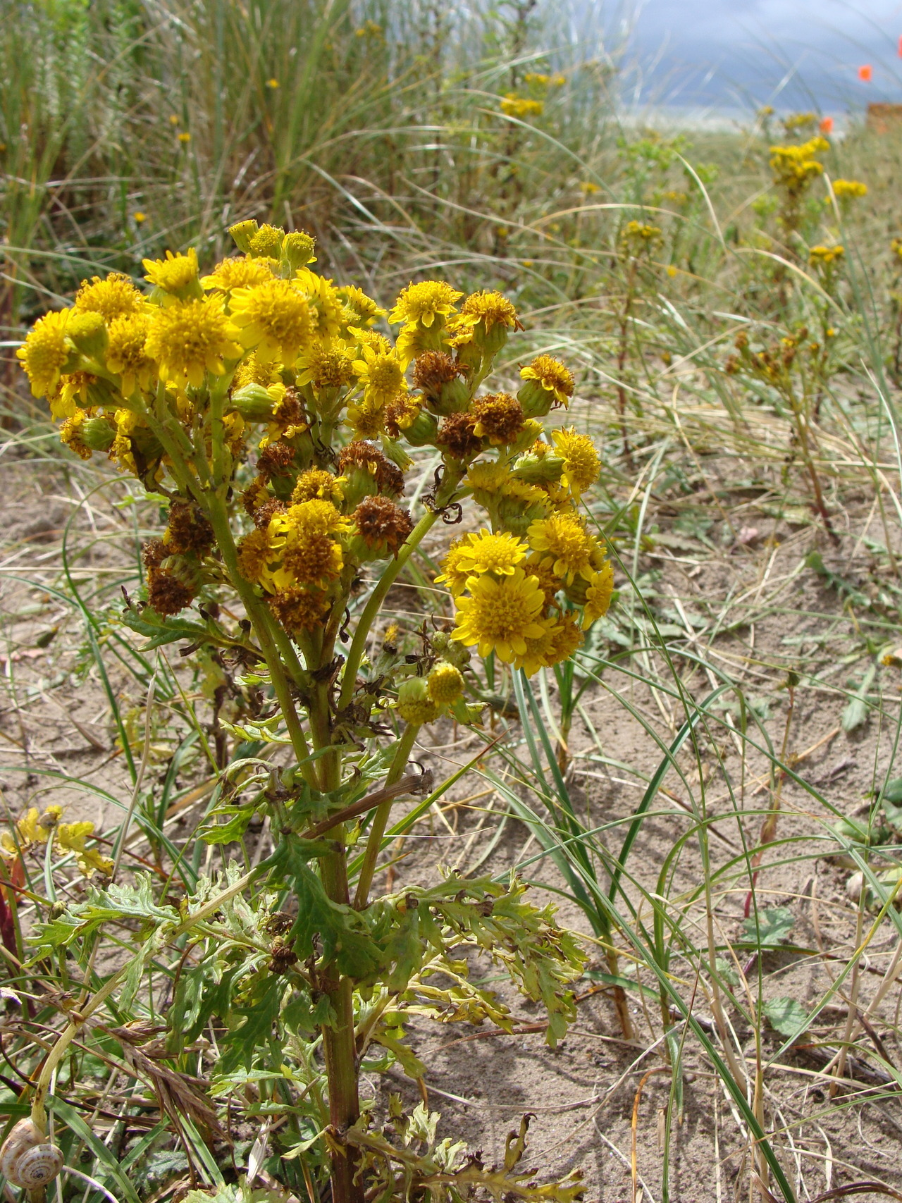 Common Ragwort at the beach! Taken at Chicago, Illinois.