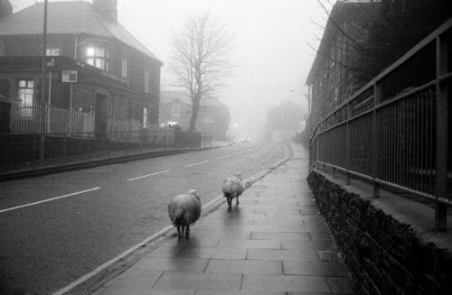 thediaryofadisappointingman:  Sheep in the village of Blaennau Ffestiniog, Wales, walking the village streets during winter as the tarmac is warmer than the surrounding fields and hills. Peter Marlow / Magnum