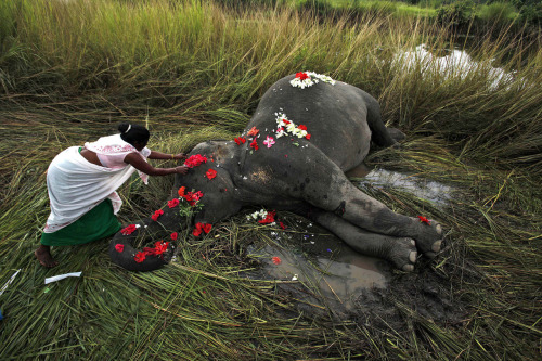 Sept. 1, 2012. A villager offers flowers to a female adult elephant lying dead on a paddy field in Panbari village, about 50 kilometers (30 miles) east of Gauhati, India. (Photo: Anupam Nath—AP)
