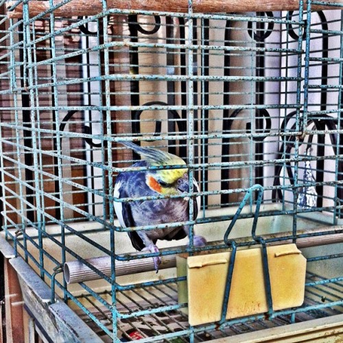 #bird #feeding #colors #cage #igerspr #igpuertorico #hispanogram #instagramlatino #hdr #hdr_lovers #hdrspotters #iphone #carolina #puertorico (Taken with Instagram at Villa Carolina 5ta ext)