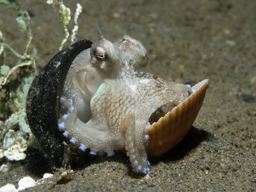 ssebok:  The coconut octopus, Octopus marginatus, which uses two halves of a coconut shell to protect itself when in danger.