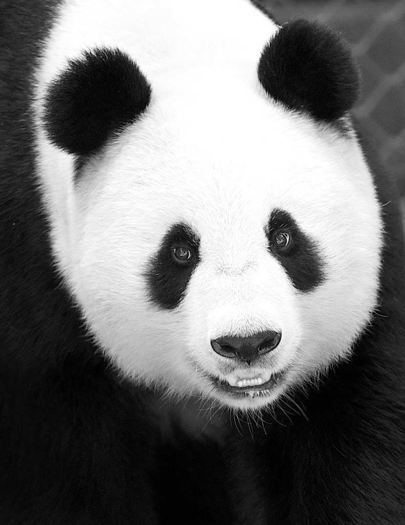 fuckyeahgiantpanda:  Happy 21st birthday Bai Yun! Via fictionspulp, © Rita Petita.