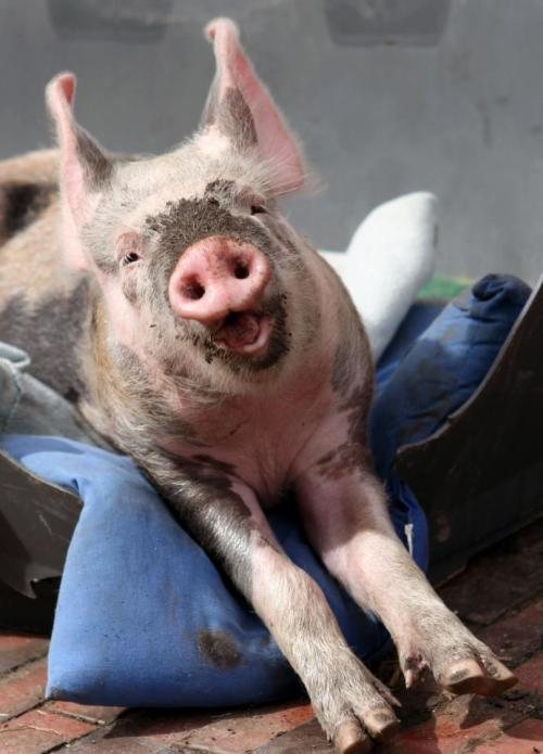 pigs are just too awesome, seriously.
