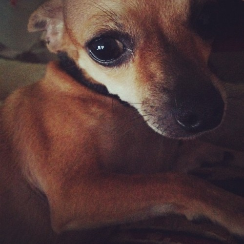 Chispita #pets #animals #dog #chihuahua #eyes #love #friend #igaddict #igers #instago #instagood #instamood #instadaily #instapet #life #like  (Taken with Instagram)