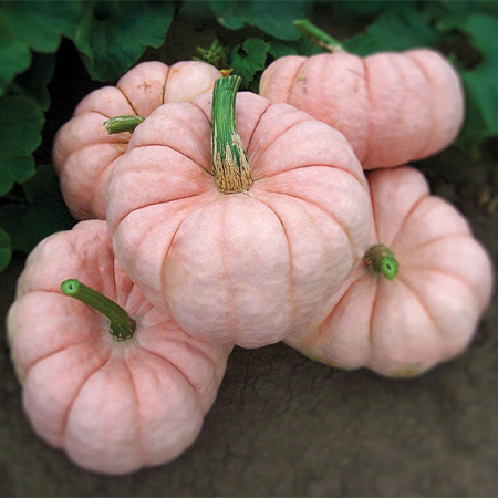 wallacegardens:  Porcelain Doll F1 Hybrid Pumpkin seeds, from dpSeeds.