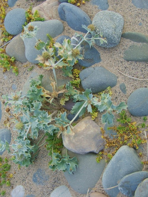 Sea Holly, Isle of Man