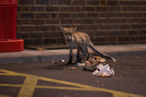 Another lil fox bravely scavenging a KFC parking lot at midnight…