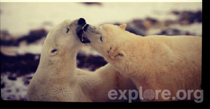 "exploreorg:  Polar Bear Breath Feeling sleepy still? How's that morning breath by the way? These guys don't seem to mind. Explore.org is capturing some of our favorite shots from our live cams.  Polar Bears International says,  ""In winter, polar bears sleep in shallow pits they dig in the snow with their sides or backs to the wind. Polar bears sleep right through blizzards in day beds dug in the lee of a ridge. The snow piles up on top of them and provides an insulating blanket. Sometimes they stay curled up under the snow for several days until the storm passes. In summer, polar bears curl up on the tundra or on an ice patch, sometimes using a block of ice or an outstretched paw as a pillow. Landlocked bears dig sleeping pits in the sand or in gravel ridges along the shoreline."" Check out more polar bears at Explore.org."