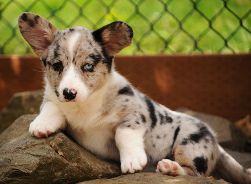 corgiaddict:  simonsaysbark:  Corgi puppy Friday! Temperance's sister, the lovely miss Willow! (Tempe's family members are quite pretty… even if I am biased.)  Heterochromic merle = love