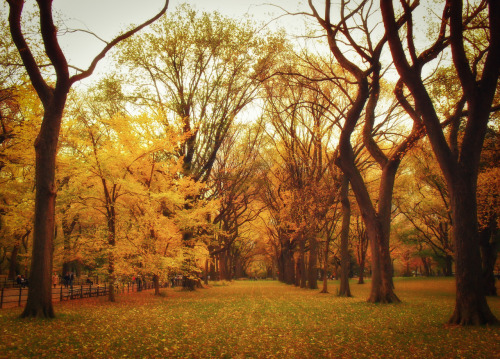 "Autumn. Central Park, New York City.  The graceful limbs of Autumn's trees cling to all of Summer's sunsets searing their leaves yellow, orange and red with the sun's heat.  With golden leaves stoked by the last of Summer's fleeting flame, Summer's fire extinguishes itself in a carpet of brilliantly colored embers on the ground below.   —-   View this photo larger and on black on my Google Plus page  —-  Buy ""Autumn - Central Park - New York City"" Prints here, email me, or ask for help."