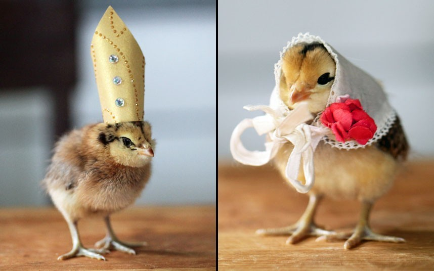 theanimalblog:  A chick wearing a pope's hat and another wearing a white scarf with a red flower are pictured in Norridgewock, Maine. US photographer Julie Persons started her hobby of dressing chicks in hats when her seven-year-old daughter decided to try accessorising some baby birds they were keeping at home. Picture: Julie Persons / Barcroft Media