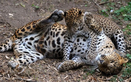 A five-month old Sri Lankan leopard plays with his mother Iris at the Zoo de Doué-la-Fontaine in France.  Picture: FRANK PERRY/AFP/GettyImages