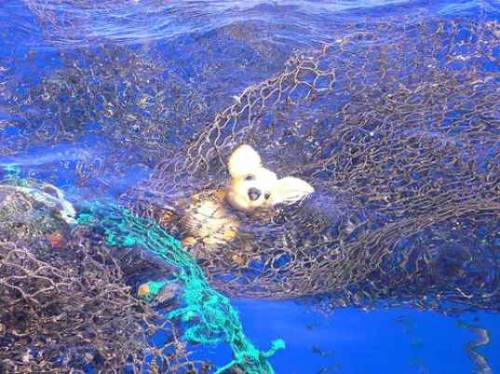 Picture of a teddy bear caught in the Great Pacific Garbage Patch. It's a rumor that we hoped would never be confirmed: at least 1,700 miles of plastic trash is floating in what is commonly known as the Great Pacific Garbage Patch. Up until this point, scientists only had a vague idea of the scope of the trash they would find in the North Pacific Gyre, a vortex where four ocean currents meet. Isolated patches have been reported by sailors and fishermen, but now researchers, sailors, journalists, and government officials on a nearly four-week journey through the gyre say that plastic shards and netting abound in a space bigger than the state of Texas.