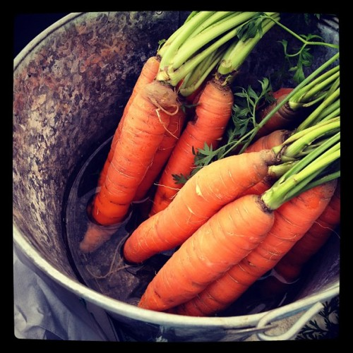 Fresh picked carrots #fresh #carrots #ctgrown #farm #auntpatti #uncleray #beautiful #orange #green #pretty  (Taken with Instagram at The Farm)