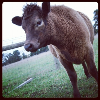 How cute is Mali!!!! #cows #farm #cute #animals  (Taken with Instagram)