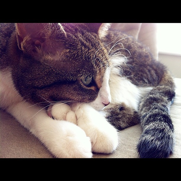 thruthislens:  #lucythecat  (Taken with Instagram)