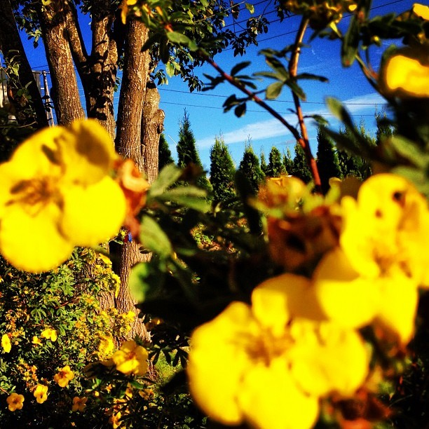 #yellow#flowers in the #garden#bloom#blossom#flowerporn#bluesky#trees (Taken with Instagram)