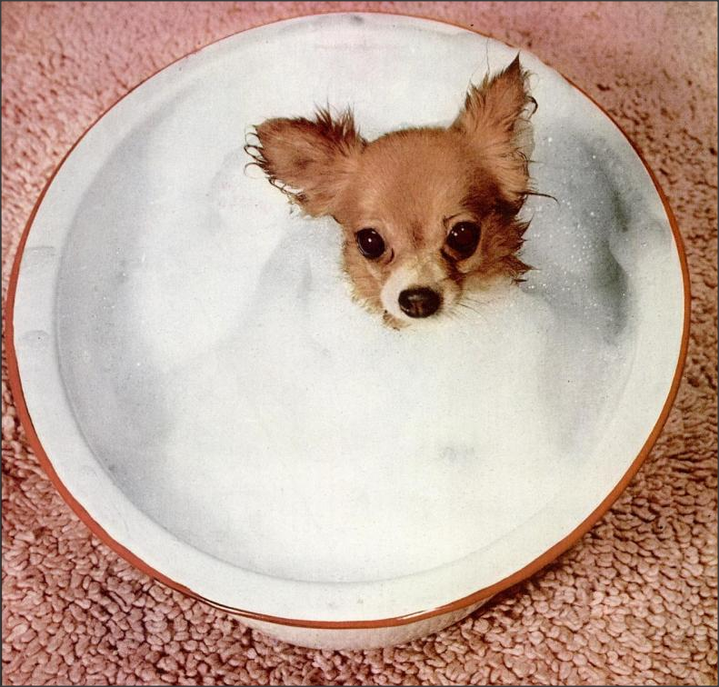 "Bubble Bath , 1955 ""A good soaking is given long-coated Chihuahua, Ch. Oleniks Little Red Robbin, in an ordinary cake mix pan. Miss Dorothy Olenik's two and a half pound champ is then dried by hot air blower and then put under a stove so he will not catch cold."" Life"