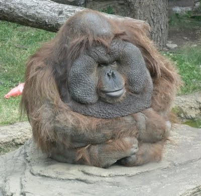 nosdrinker:  i've been laughing at this orangutan for fifteen minutes i'm not even exaggerating