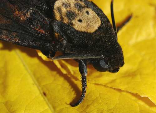 captivating-animals:  Acherontia atropos - Death's-head Hawkmoth - Sphinx tête de mort - 13/09/10 by Philippe_Boissel on Flickr.