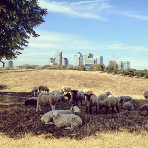 Sheep in the shadow • #sheep #mudchutefarm #isleofdogs #eastlondon #london #england #greatbritain #unitedkingdom #cityfarm #tree #shadow #hill #skyscrapers #steel #glass #canarywharf #bluesky #whitecloud #greentree #afternoon #september #2012 #Valencia #lux  (Taken with Instagram at Mudchute City Farm)