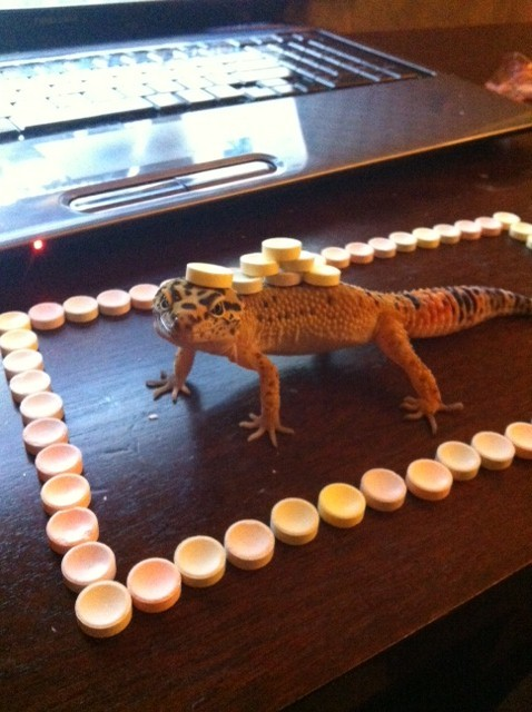 heyclock:  heyclock:  sometimes i like to put candy on my gecko and then he hates me   FOR REVENGE HE'S STANDING ON MY TOUCH PAD AND WON'T LET ME BROWSE TUMBLR DSIFOSDGPDFGK
