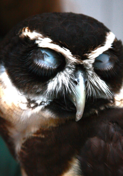 thecandidcrow:  I managed to capture this spectacled owl in mid-blink. He made for an excellent model.