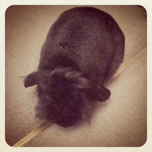Good morning! #bunny #rabbit #cute #fluffy #lop #4/365 (Taken with Instagram)