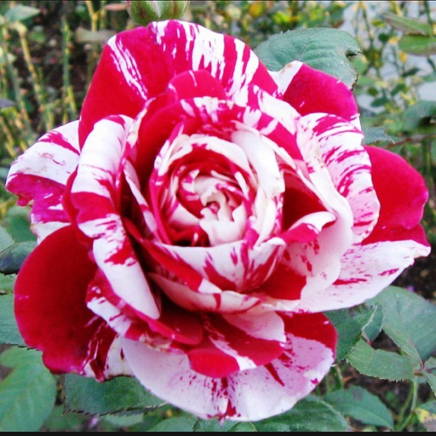 Rose by any other name…   #flower #ny #botanicalgarden #love #red #white  (Taken with Instagram)