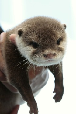 Otter Pup Hangs Out in Hoomin's Hands