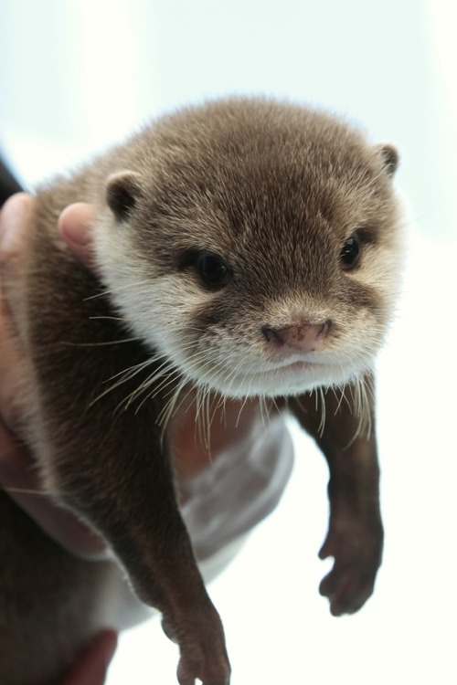dailyotter:  Otter Pup Hangs Out in Hoomin's Hands Via Beginners' Blog Otter  Awww look at his adorable smile!!!