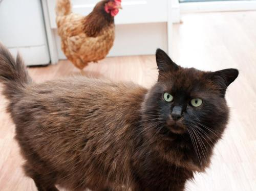 catsbeaversandducks:  Oscar couldn't believe a chicken was in the kitchen trying to steal his biscuits. Photo by ©Oscar the Grumpy Cat