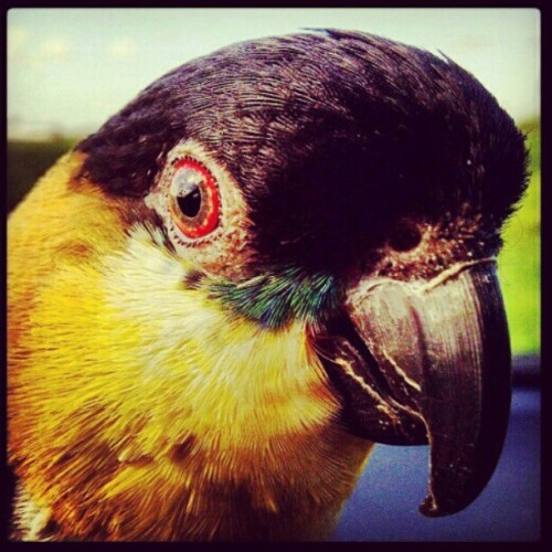 I will love you forever #morty #caique #rip #parrot #bird  (Taken with Instagram)