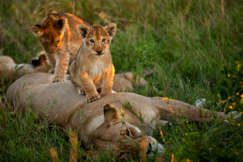 funnywildlife:  African Lion Family!! by Suha Derbent Wildlife Photography