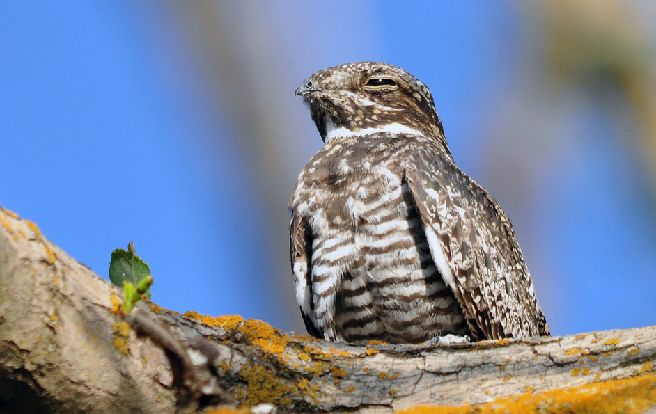 Common Nighthawk (Chordeiles minor). We admitted a juvenile nighthawk at the rehab center last night. You can imagine our surprise when, while attempting to identify him, he opened his tiny little beak and showed us this gaping monster mouth. [Photo Source.]