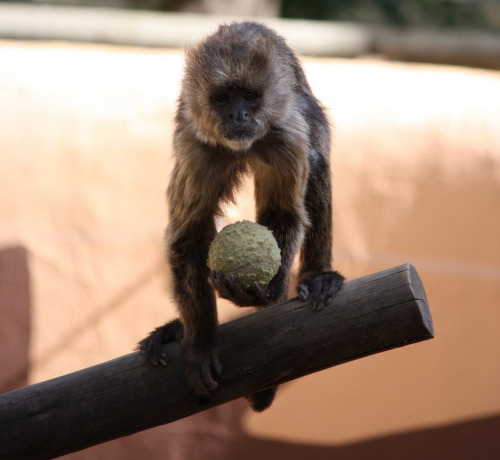 "Monkey Files Discrimination Suit Against U.S. Open On the heels of an announcement that a terrier named Linus would be the first dog to serve as ball boy for the U.S. Open tennis tournament, a monkey named Carl has filed a lawsuit against the USTA for discrimination. Carl's lawyer, Jerry Yung, claims the monkey's application for the position of ball boy was rejected due to lack of experience. ""Carl has been fetching tennis balls for nearly four years,"" Yung told the press on Sunday. ""I think we all know what 'not enough experience' means in this context. It means monkeys need not apply."" Via Andrew Wilkinson."