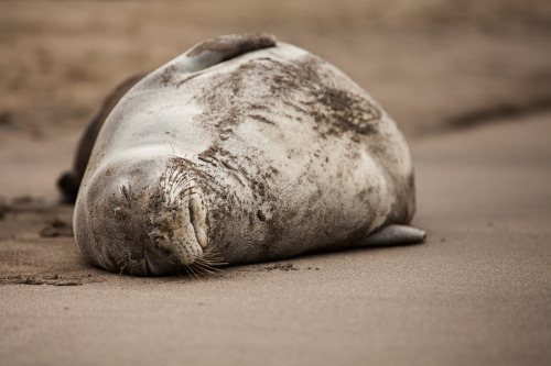 animals-animals-animals:  Hawaiian Monk Seal (by Marco Schöfl)