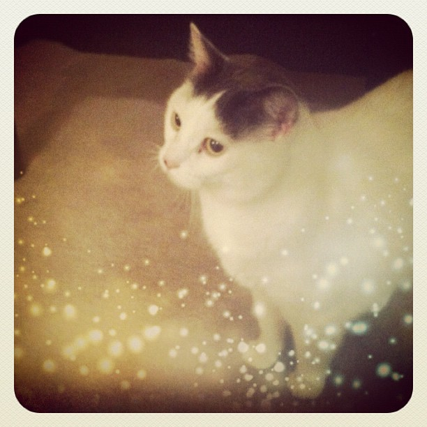 Little miss Betty! She loved having The spotlight; so photogenic! ❤ #beautiful #beautifulcats #cats #catmom #catlove #catsofig #catstagram #catsofinstagram #cute #crazycatlady #girly #hearts #instacats #instagood #kitty #kittinstagram #love #neko #petstagram #rescuecats  (Taken with Instagram)