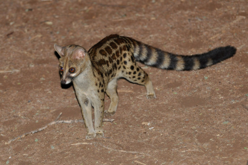 lotsofwildthings:   Large-spotted genet, Meru national park, Kenya / Genette tigrine (by Emmanuel THERET)