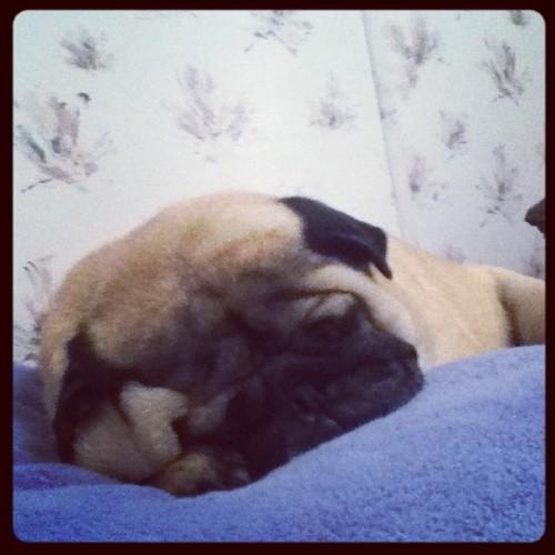 Squishy face. #eli #pugsofinstagram #dogs (Taken with Instagram)