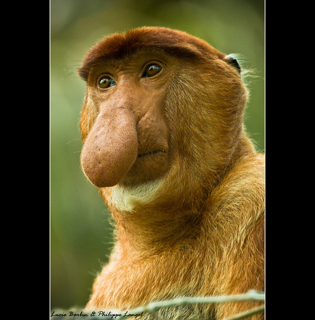 Male Proboscis Monkey - Bako National Park / Borneo Island - Sarawak state - Malaysia - South East Asia by Lucie et Philippe on Flickr.