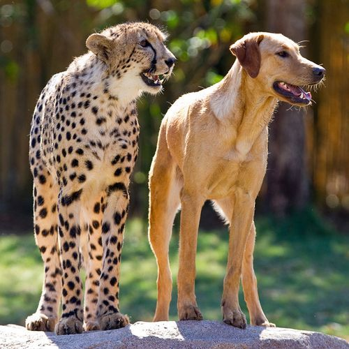 "8-alpha-leonis-8:  ""Monday, April 16 marked the one-year anniversary of the first time park guests got to see an 8-week-old male cheetah cub and a 16-week-old female yellow Labrador puppy start to strike up a friendship that the park's animal experts expect to last a lifetime."""
