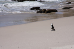 Title: Stranded This little penguin was sunning himself on the coast of South Africa. I was not expecting to find these guys here but sure enough there were tons.
