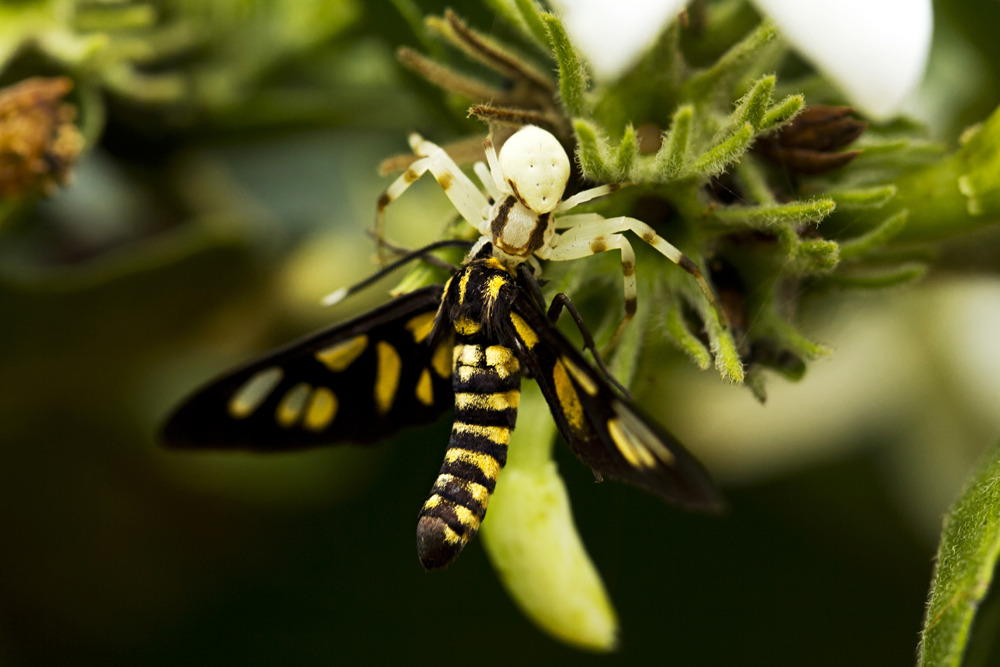 Basic Nature  Last summer, I found this beautiful yellow moth I decided to take a picture of, but when I changed angles I realized it wasn't alone, there was a spider - a spider half its size who had him in the grip of its deathly arachnid claws. It was amazing to witness and capture this act of nature in all its predatory beauty. After I took the shot, I decided to leave them be and let nature take its course.