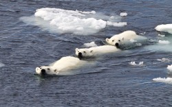 theanimalblog:  A polar bear family swim in formation after the cubs caught the eye of a hungry male bear. This image was captured by British tour guide and photographer Paul Goldstein at Spitsbergen in Norway. Picture: Paul Goldstein / Rex Features