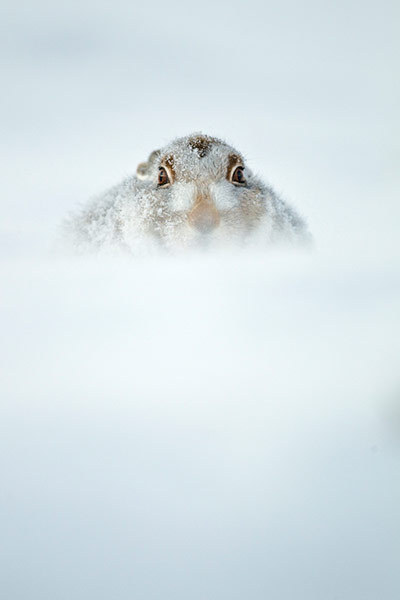 guardian:  PICTURED ABOVE: British seasons category winner: Snow hare portfolio by Jules Cox Photograph: Julian Cox/BWPA   The British wildlife photography awards celebrate the diversity of the natural history of the British Isles and the talents of all photographers practising in the UK.  See a selection of the winning images here.