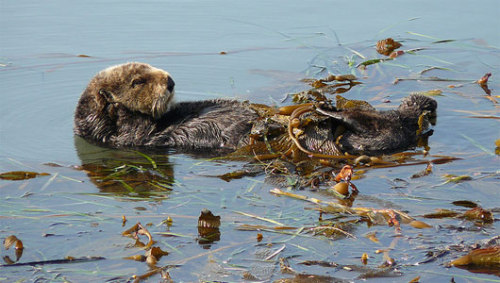 Why sea otters are global warming warriorsSea otters keep sea urchins from gouging on kelp, a plant that absorbs CO2 from the atmosphere.