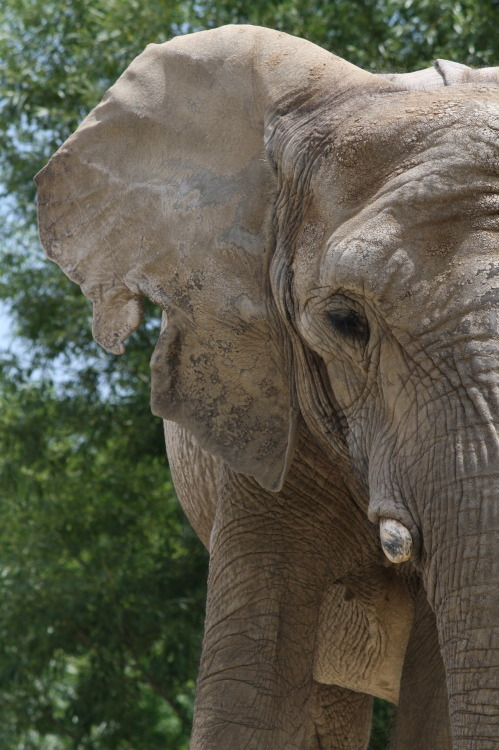 theanimalblog:  Elephant at Toronto Zoo Photographer: Brandojones