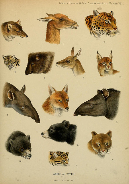getouterspace:  American types by BioDivLibrary on Flickr. The great and small game of Europe, western & northern Asia and America;.London,R. Ward, limited,1901..biodiversitylibrary.org/page/15567101  Reminded me of patronus.