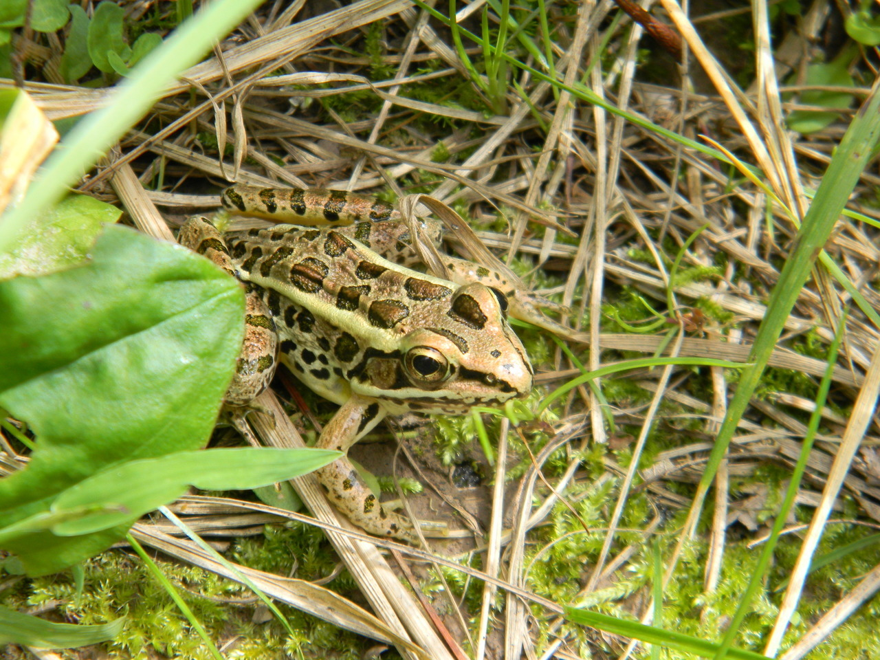 September 12, 2012 Northern Leopard Frog /Hiding in a grassy spot /Camouflage, top-notch!  —photo by Jerod Skebo; amphibian haiku by Justin Raymond